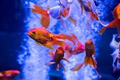 Tropical and aquarium goldfish in blue water. Beautiful background Royalty Free Stock Photography