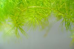 Tropical aquatic plant in freshwater pond. Tropical aquatic plant in the freshwater pond Royalty Free Stock Photo