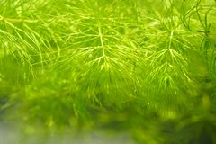 Tropical aquatic plant in freshwater pond. Tropical aquatic plant in the freshwater pond Royalty Free Stock Photography