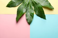 Tropical Aralia leaf on color background Stock Photo