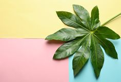 Tropical Aralia leaf on color background. Top view Stock Image