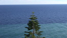 Tropical araucaria tree by the sea stock video