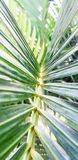 Tropical Areca Betel palm green leaves royalty free stock photo