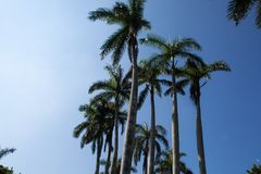 Tropical background with blue sky and queen palm trees. High queen palm trees in Cuba in hot summer day royalty free stock photo