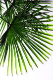 Tropical background - palm leaf Stock Image