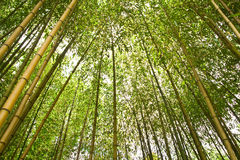 Tropical bamboo forest Stock Image