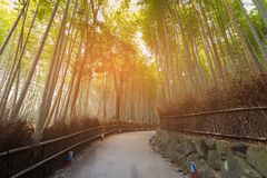 Tropical bamboo forest with walking way. Kyoto Japan Stock Images