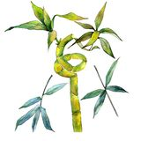 Tropical  bamboo tree in a watercolor style isolated. Aquarelle wild bamboo tree for background, texture, wrapper pattern, frame or border Royalty Free Stock Photography