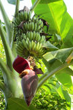Tropical banana flower and green bananas. Growing in tropics on a palm tree in the wild or in a farm Stock Images
