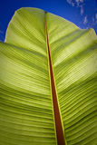 Tropical banana leaf in Ecuador Royalty Free Stock Photography