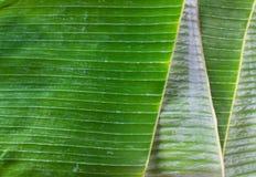 Tropical banana leaf preparing for Asian craftsmanship like Krathong, food container.  stock photos