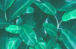 Tropical banana leaf texture, large palm foliage nature dark green background stock images