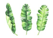 Tropical banana leaves set. Hand drawn watercolor illustration stock illustration