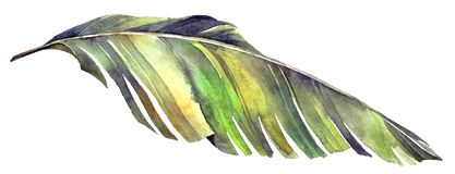 Tropical banana palm leaf. Watercolor painting on white background vector illustration
