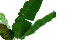 Tropical banana tree leaves, nature frame layout isolated on whi stock image