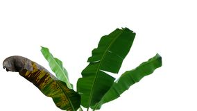 Tropical banana tree leaves, nature frame layout isolated on whi royalty free stock photos