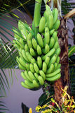 Tropical bananas hanging on tr Royalty Free Stock Photo