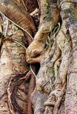 Tropical banyan tree (ficus benghalensis) . Stock Photos