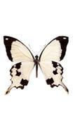Tropical batterfly aislado en blanco Imagen de archivo
