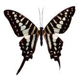 Tropical batterfly en blanco Foto de archivo