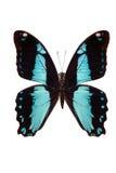Tropical batterfly en blanco Imagenes de archivo