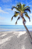 Tropical beach. Palm tree on a tropical beach in Martinique Royalty Free Stock Photography