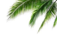 Free Tropical Beach Coconut Palm Tree Leaves Isolated On White Background, Green Palm Fronds Layout For Summer And Tropical Nature Stock Images - 166882774