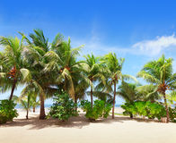 Tropical beach with Coconut palm trees. Royalty Free Stock Image