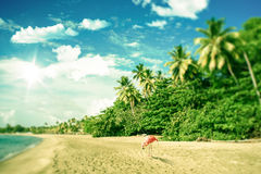Tropical beach with a flamingo looking for food Stock Photos