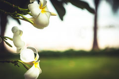 Tropical beach holidays background with beautiful plumeria flowers with blurred beach background in vintage style. With copy space Royalty Free Stock Images