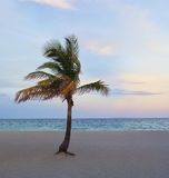 Tropical Beach Palm. A single tropical palm sways in the off-shore breeze on a beach at sunset Stock Photography