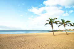 Tropical Beach Palm Tree. In lanzarote, canary islands Stock Photography