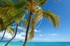 Tropical beach with a palm tree Royalty Free Stock Image