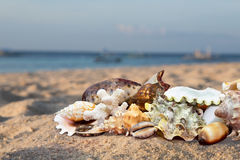 Tropical Beach Shells Royalty Free Stock Photo