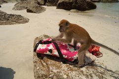 Wild monkey on the beach trying to open the bag. royalty free stock photo