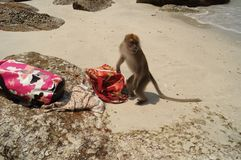 Wild monkey on the beach trying to open the bag. stock photography