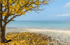Tropical beach with yellow leaf tree, Thailand Stock Photography