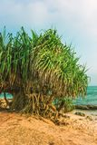 Tropical beach with yuccas trees. Located in northern part of the Habaraduwa beach close to the small town Koggala the south coast of Sri Lanka Royalty Free Stock Photo