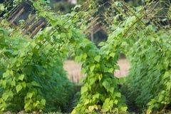 Tropical bean plantation Royalty Free Stock Photos