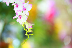 Tropical  beautiful  orchid. In orchid  festival   of Thailand Stock Images
