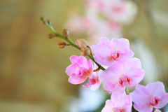 Tropical  beautiful  orchid. In orchid  festival   of Thailand Royalty Free Stock Photos