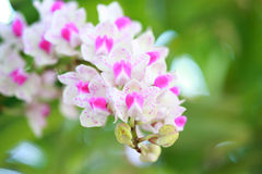 Tropical  beautiful  orchid. In orchid  festival   of Thailand Royalty Free Stock Photography