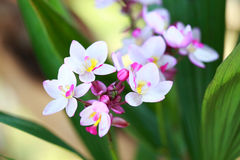 Tropical  beautiful  orchid. In orchid  festival   of Thailand Stock Photo
