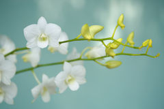 Tropical  beautiful. Orchid  in Nakhonprathom province of Thailand Stock Image