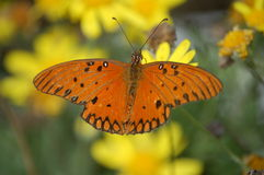 Tropical beauty. Beautiful butterfly on yellow flowers Royalty Free Stock Photography