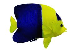 Tropical Bicolor Angelfish Stock Image
