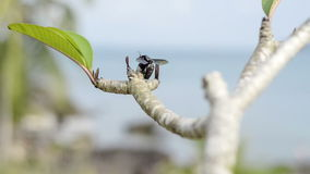 Tropical big black carpenter bees approach to Plumeria branch stock video footage