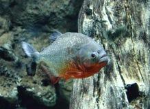 Tropical big fish in a big aquarium royalty free stock photos