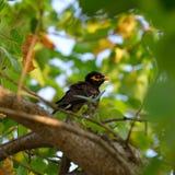 Tropical bird Acridotheres Royalty Free Stock Photos