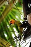 Tropical bird Aratinga pertinax Royalty Free Stock Photos